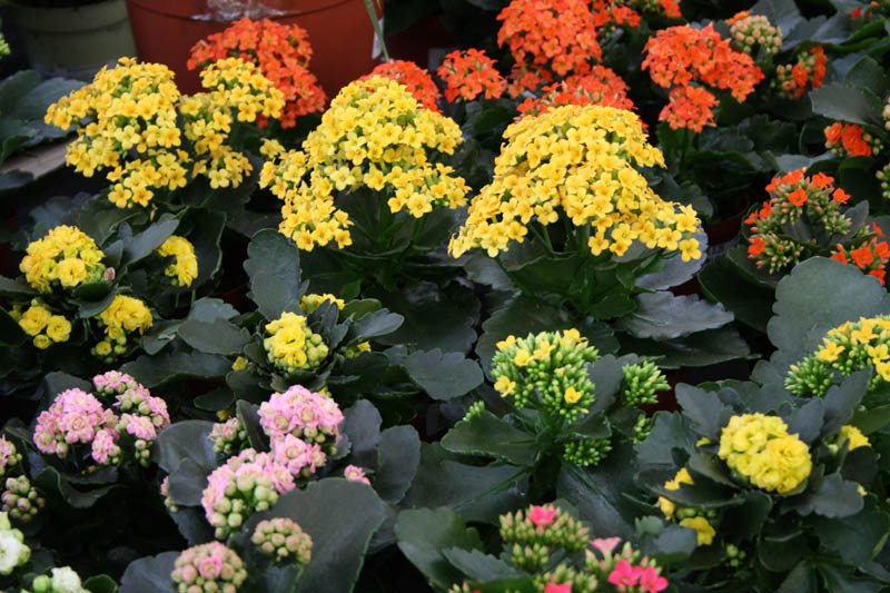 Indoor plants bellis brothers farm shop garden centre for Flowering plants for indoors
