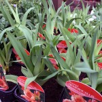Hemerocallis Strawberry Candy