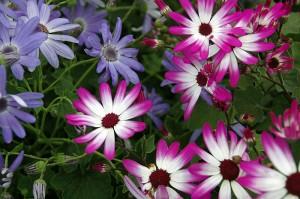 Magenta Bi Colour