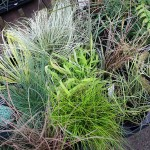 Ornanmental grasses