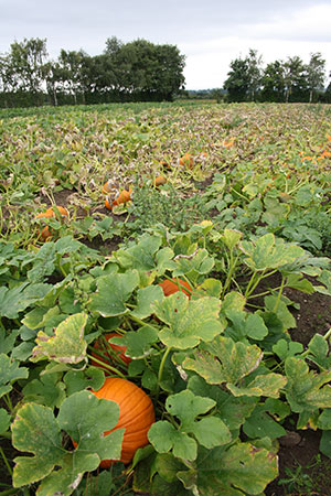 pumpkin-field