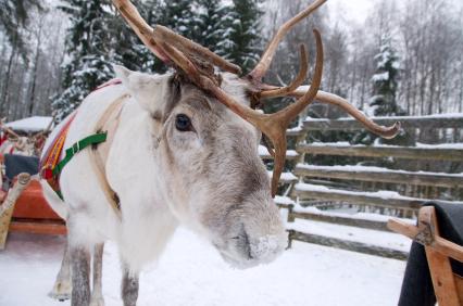 Reindeer at the polar circle