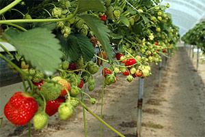 Table Top Strawberries Bellis Brothers Farm Shop Garden