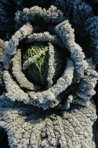 Frosty-cabbage
