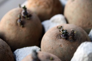 Chitting first early potatoes