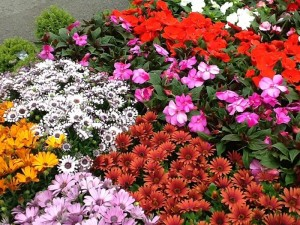 summer-colour--plants-3